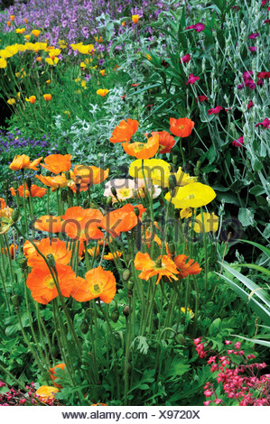 Papaver, Poppy, Orange coloured flowers and others of mixed colours in a garden border. - Stock Photo