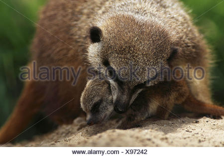 Meerkat / Erdmaennchen - Stock Photo
