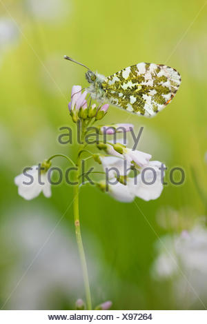 Orange-tip (Anthocharis cardamines), female on cuckoo flower, side view, Germany, Rhineland-Palatinate - Stock Photo