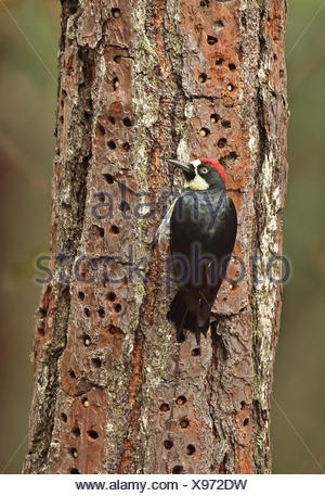 Acorn Woodpecker (Melanerpes formicivorus lineatus) adult male, clinging to tree trunk, with acorns stored in cache, El Picacho - Stock Photo
