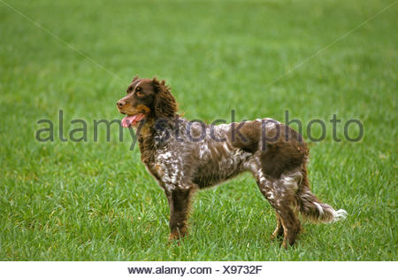 Picardy Spaniel Dog, Adult on Grass - Stock Photo