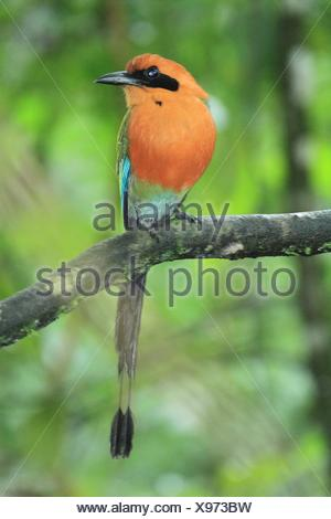 Momoto Canelo Mayor, (Baryphthengus martii) en el Parque Nacional Volcán Arenal, Costa Rica. - Stock Photo