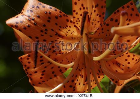 Lilium lancifolium, Tiger lily, Devil lily - Stock Photo