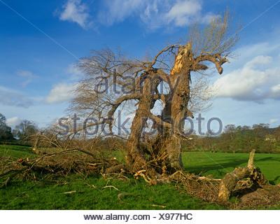 Dying Native Black Poplar (Populus nigra) Denbighshire, North Wales, UK - Stock Photo