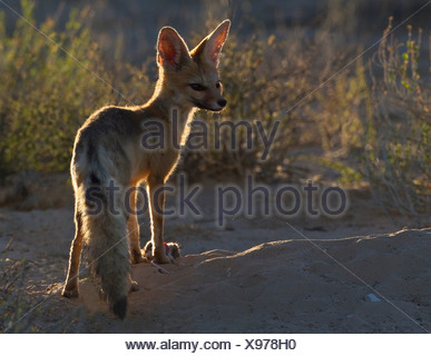 Cape Fox with rat, Kgalagadi Transfrontier Park, Africa - Stock Photo