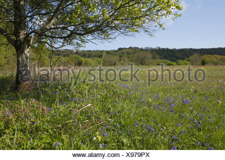 Bluebell (Endymion non-scriptus) and Cowslip (Primula veris) flowering mass, growing in meadow habitat, Oxwich National Nature - Stock Photo