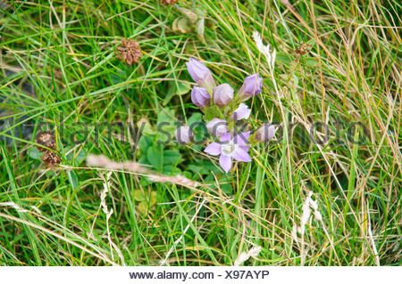Alpine wildflower, Photographed in Austria, Tyrol  - Stock Photo
