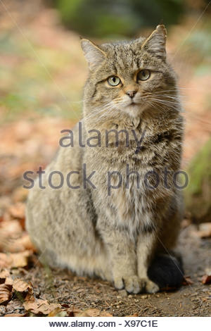 Close-up of a European wildcat (Felis silvestris silvestris) in autumn in the bavarian forest. - Stock Photo