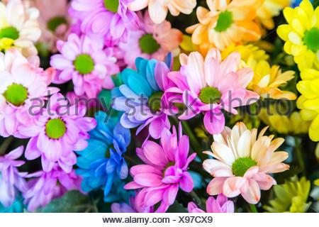 Chrysanthemum Rainbow Flower - Stock Photo