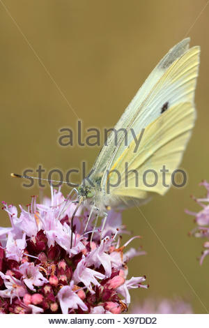 Small white, Cabbage butterfly, Imported cabbageworm (Pieris rapae, Artogeia rapae), on pink flowers on  Origanum vulgare, Germany - Stock Photo
