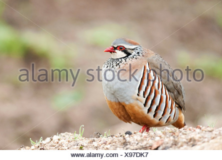 Red Legged Partridge Alectoris rufa Andalucia Spain - Stock Photo