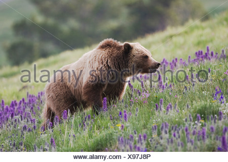 Grizzly Bear Ursus arctos horribilis adult in Purple Fringe Phacelia sericea flowers Yellowstone National Park Wyoming USA - Stock Photo