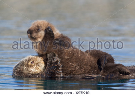 Female Sea otter with newborn pup riding on her stomach, Prince William Sound, Southcentral Alaska, Winter Stock Photo