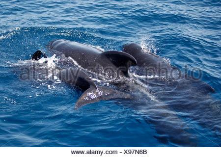 Family of Short-finned Pilot Whale, Globicephala macrorhynchus, Strait of Gibraltar, Spain - Stock Photo