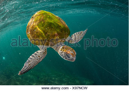 A green sea turtle swims off the coast of Oman's Musandam Peninsula. - Stock Photo