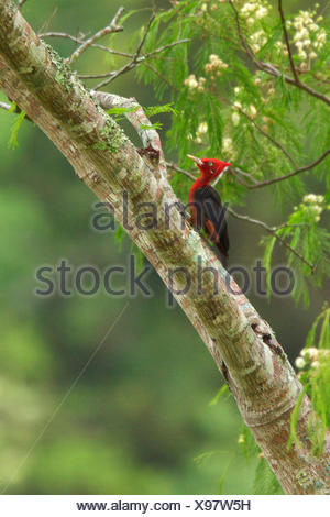 Red-necked Woodpecker (Campephilus rubricollis) perched on a branch in Bolivia, South America. - Stock Photo