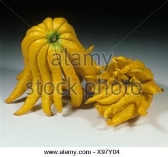 Citron Citrus medica sacrodactyl fruit variety Buddhas Hand or Hand of Buddha - Stock Photo