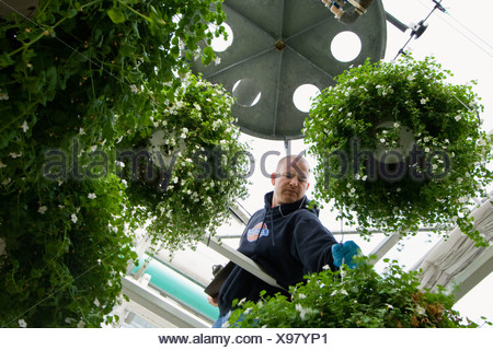 Agriculture - A worker tending to automatic irrigator for hanging baskets at a commercial greenhouse / Carleton, Michigan, USA. - Stock Photo