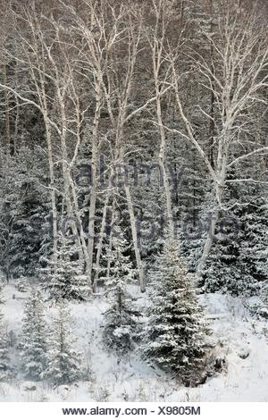 Birches and spruces with a dusting of snow in late autumn, Greater Sudbury (Lively), Ontario, Canada. - Stock Photo