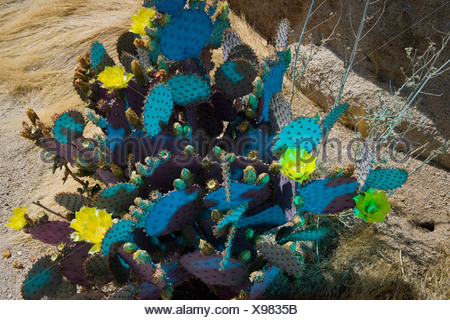A prickly pear cactus (Opuntia robusta) - Stock Photo