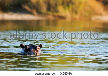 Africa, Bwa Bwata, National Park, Caprivi, Namibia, animal, cooling, floating, hiding, hippo, hippopotamus, animal, horizontal, - Stock Photo