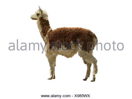 llama (Lama glama), cutted out - Stock Photo
