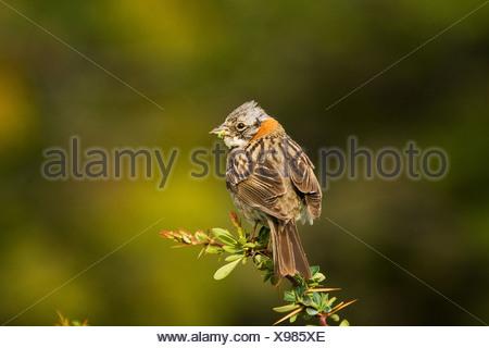 rufous-collared sparrow / Zonotrichia capensis - Stock Photo