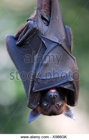 Indian flying fox or greater Indian fruit bat (Pteropus giganteus) hanging, captive - Stock Photo