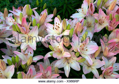 Blossoming domestic Asiatic Lillies in garden.  Northern Ontario; Canada. - Stock Photo
