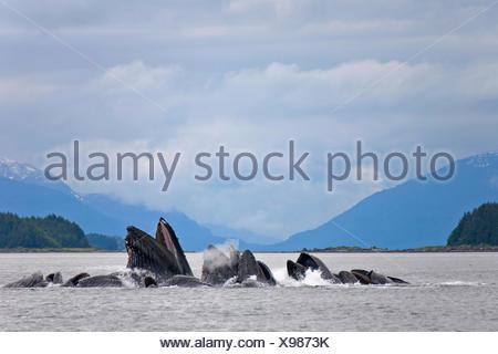 humpback whale (Megaptera novaeangliae), bubble net feeding, USA, Alaska, Admirality Island, Lynn Canal - Stock Photo