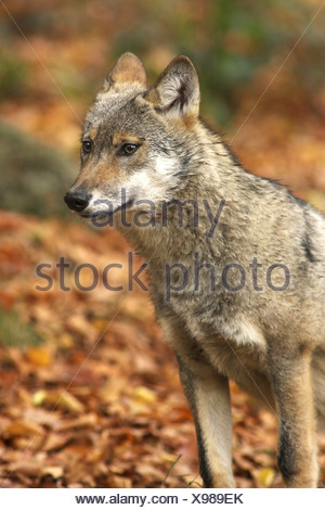 European gray wolf (Canis lupus lupus), young individual - Stock Photo