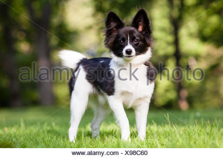 A Jack Russell Terrier and Papillon mix dog plays in a park during the summer. - Stock Photo