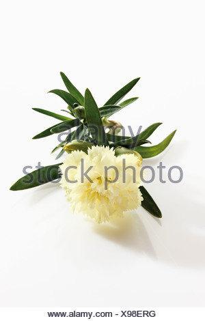 White carnation (Dianthus) - Stock Photo