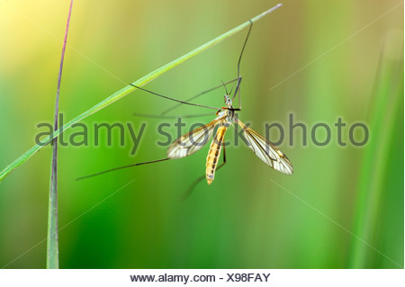 Cranefly (Tipula oleracea) hanging on a blade of grass - Stock Photo
