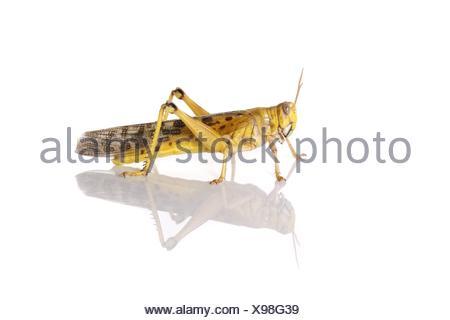 locust - Stock Photo