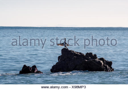 Cormorant perched on a rock singing and dries its wings in the sun - Stock Photo