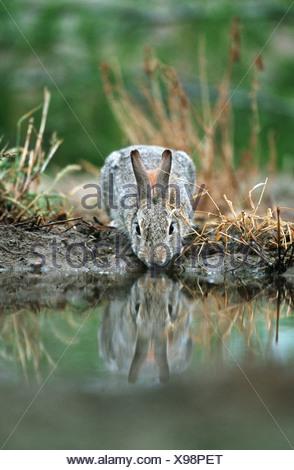 European rabbit (Oryctolagus cuniculus), drinking, reflection - Stock Photo