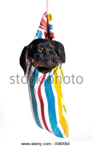 Kurzhaardackel, Kurzhaar-Dackel, Kurzhaarteckel, Kurzhaar-Teckel, Teckel, Dachshund (Canis lupus f. familiaris), Welpe schaut au - Stock Photo