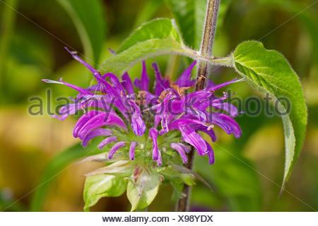 Wild bergamot bee-balm, Wild bergamot, Bee balm (Monarda fistulosa), blooming - Stock Photo