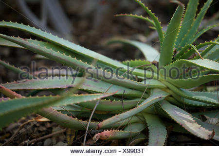 aloe vera plant at forest. leaves, herbal medicine, spike, growth. - Stock Photo