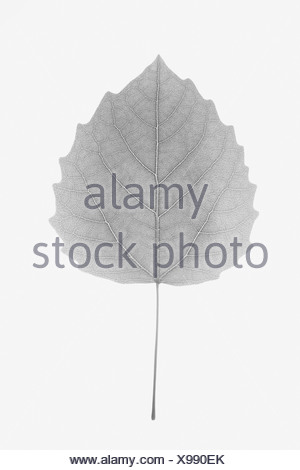 USA, New Jersey, Bigtooth Aspen Leaf - Stock Photo