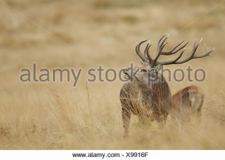 Red Deer (Cervus elaphus) mature stag in flehmen scenting nearby hind during rutting season Bradgate Park Leicestershire - Stock Photo