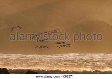Fleigende Rosaflamingos (Phoenicopterus roseus), Diaz Halbinsel, Lüderitz, Lüderitzbucht, Karas,  Namibia |Greater Flamingo (Pho - Stock Photo