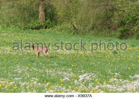 ree in kruidenrijk vochtig grasland met pinkster- en paardenbloemen; roe deer in moist pasture full of  dandelions and cuckoo-flowers - Stock Photo