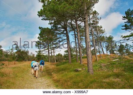 Scotch pine, Scots pine (Pinus sylvestris), wanderers in open pine forest, Denmark, Juetland, Lobjerg, Thy National Park - Stock Photo