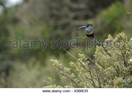Giant Kingfisher (Megaceryle maxima) adult female, perched in bush, Durban, KwaZulu-Natal, South Africa - Stock Photo