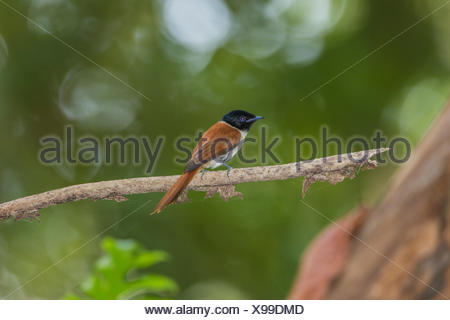 Seychelles Paradise Flycatcher (Terpsiphone corvina), La Digue, Seychelles - Stock Photo