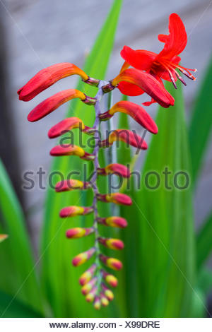 Montbretia, Crocosmia 'Lucifer', Branched spike with emerging showy funnel-shaped red flowers isolated in shallow focus against a green and grey background. - Stock Photo