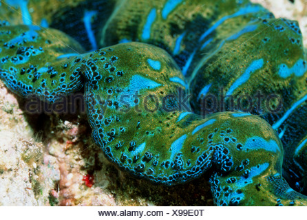 Large Giant Clam (Tridacna maxima).  Red Sea, Egypt. - Stock Photo