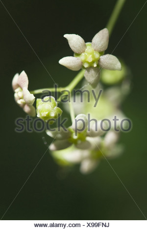 broad-leaved spindle tree, euonymus latifolia - Stock Photo